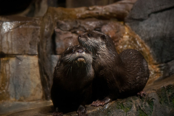 Asian River Otters