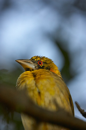 Colorful Yellow weaver