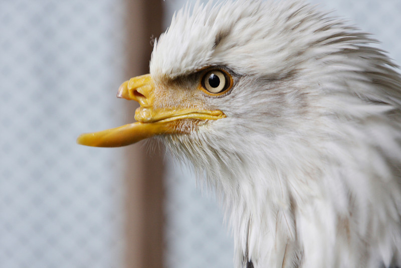 Beauty, a rescued Alaskan bald eagle, sits in her pen at a raptor recovery center near St. Maries, Idaho, Wednesday, April 23, 2008. A surgery in May 2008 will provide Beauty with a new artificial beak, to replace the one damaged by a gunshot wound. (AP Photo/Young Kwak)