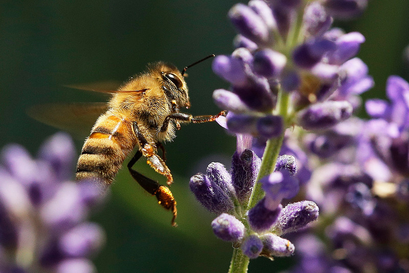A bee flies among lavender plants at home in Spokane, Wash., Tuesday, June 29, 2021. (Young Kwak)