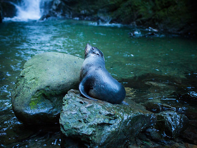 Baby Seal at Ohau Stream, Kaikoura