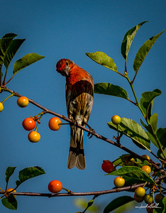 Curious Male House Finch