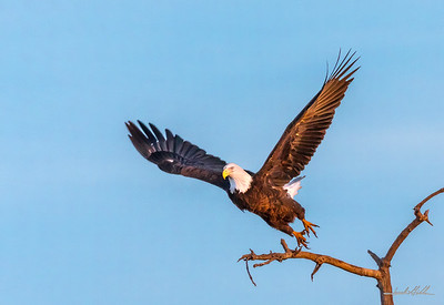 Great American Bald Eagle, Wings fully extended for flight
