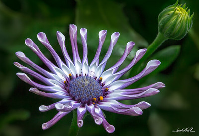 Osteospermum,Margarita White Spoon