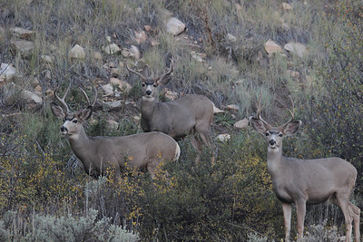 Young Mule deer bucks