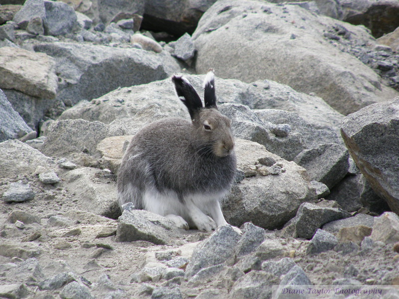 Hare in the Summer in the Arctic tundra