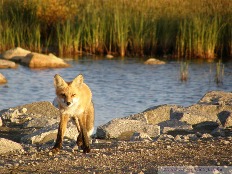 Fox in the Summer in the Arctic tundra