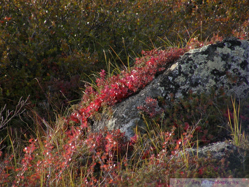 Fall colours in the Arctic tundra