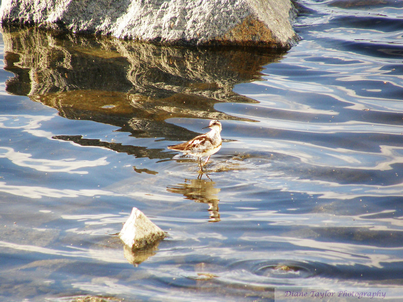 Phalerope in the Summer in the Arctic tundra