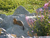 Ground squirrel in the Summer in the Arctic tundra