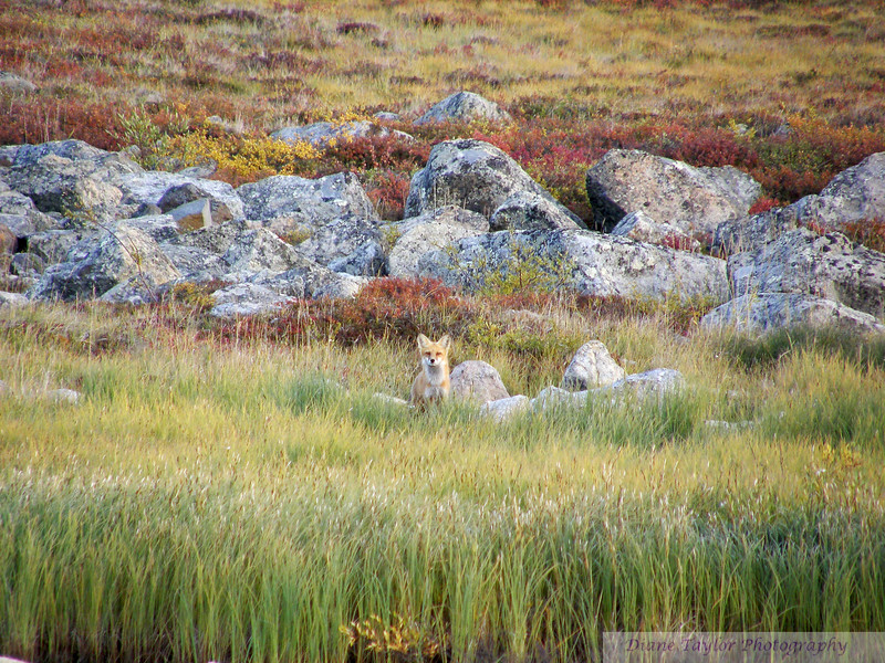 Fox amidst fall colours in the Arctic tundra