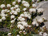 Labrador Tea in bloom in the Summer in the Arctic tundra