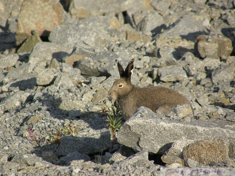 Hare in summer in the Arctic tundra