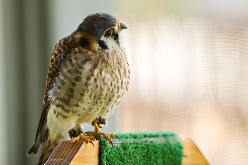 American Kestrel at the Audubon Center for Birds of Prey