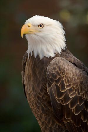 Bald Eagle at the Audubon Center for Birds of Prey