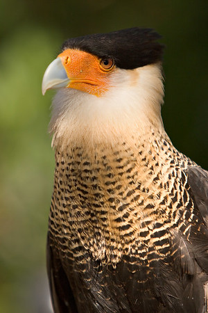 Crested Caracara at the Audubon Center for Birds of Prey