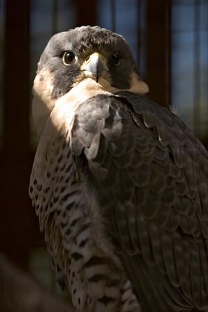 Peregrine Falcon at the Audubon Center for Birds of Prey