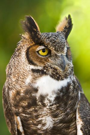 Great Horned Owl at the Audubon Center for Birds of Prey