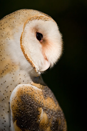 Barn Owl at the Audubon Center for Birds of Prey, Florida.