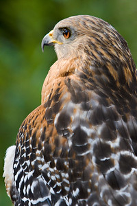 Red Shouldered Hawk at the Audubon Center for Birds of Prey