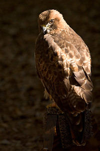Red-Tailed Hawk at the Audubon Center for Birds of Prey