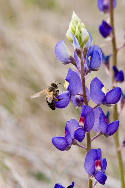 Bee on Big Bend Blue Bonnet, Lupinus havardii<br /> Fabaceae family<br /> Big Bend National Park