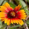 Bee on Indian Blanket (or Blanketflower)  wildflower, Gaillardia pulchella, at Mercer Arboretum and Botanical Gardens in Spring, Texas.