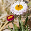 Bee on Spreading Fleabane wildflower, Erigeron divergens, Sunflower family - Asteraceae, Chisos Mountains area