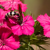 Bee on Pinks (Dianthus) flower at Mercer Arboretum in Spring, Texas.