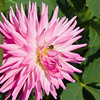 Bee on Dahlia flower in Butchart Gardens