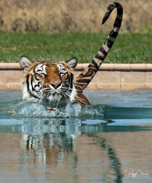 Tiger, Out of Africa Wildlife Park, Camp Verde, AZ