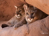 Band of Brothers-- Mountain Lions, Arizona
