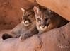 Band of Brothers-- Mountain Lions, Arizona
