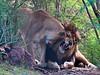 Lions -- Phoenix Zoo