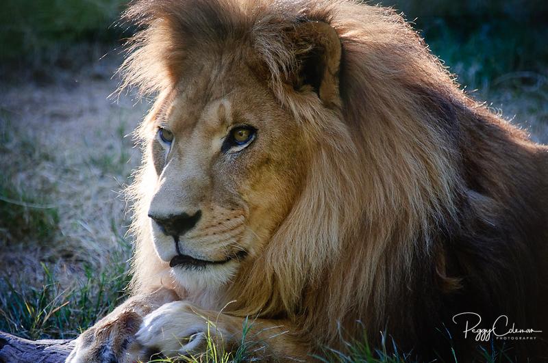 Jacob, RIP 1-2011 Wildlife World Zoo