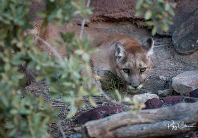 Arizona Mountain Lion