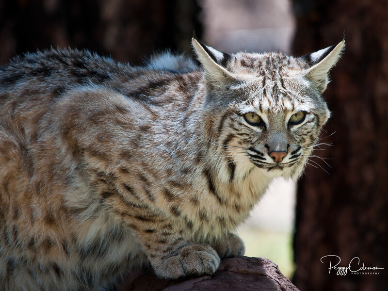Arizona Bobcat - Bearizona, Williams, Arizona