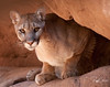 Mountain Lion--Arizona