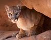 Mountain Lion--Arizona
