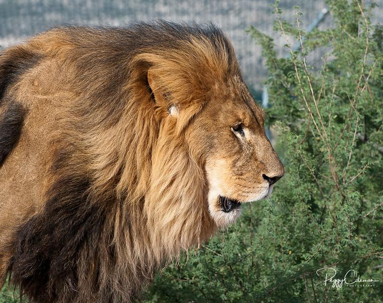 Lion--Out of Africa, Camp Verde, AZ