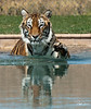 Tiger-- Out of Africa, Tiger Splash