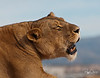 Sunset Roar--Near sunset, the roar of the lions and lionesses at Out of Africa can be heard throughout the park