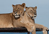 Lions -- Female, Out of Africa
