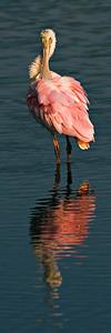 Roseate Spoonbill at Merritt Island NWR, Florida.