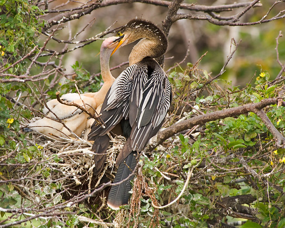 Anhinga chicks at Wakodahatchee Wetlands