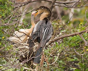 Anhinga chicks at Wakodahatchee Wetlands