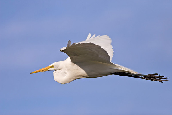 Great White Egret from Black Point Drive on Merritt Island in Florida