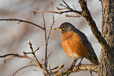 American Robin at Montrose Harbor