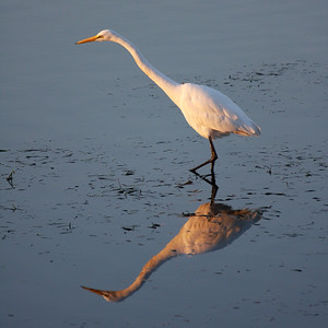 Egret Reflecting on the San Diego River