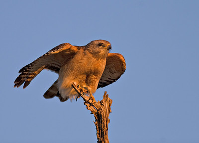 Red-Shouldered Hawk minutes before the sunset at Orlando Wetlands, Florida